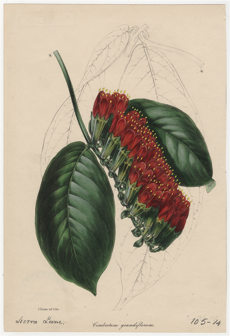 "Combretum grandiflorum [w:] ""Paxton's magazine of botany, and register of flowering plants"" 1842, vol. 9, il. do s. 169-170"