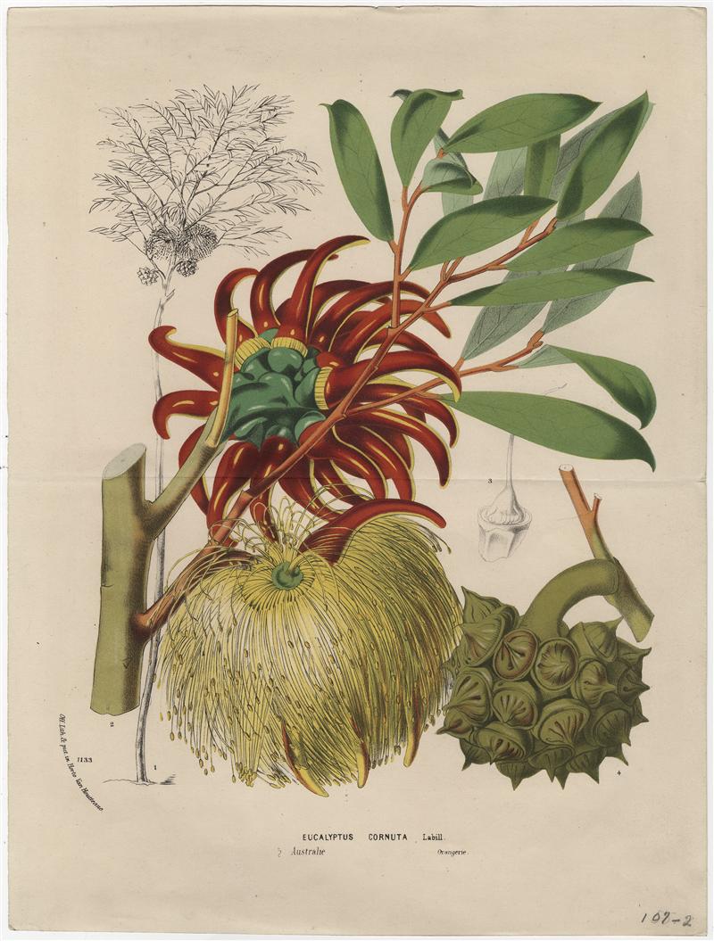 "Eucalyptus cornuta Labill. [w:] ""Flore des serres et des Jardins de l'Europe"" 1875, vol. 21, il. 2189-2190"