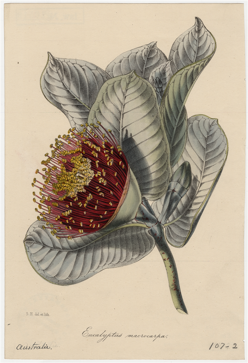 "Eucalyptus macrocarpa [w:] ""Paxton's magazine of botany, and register of flowering plants"" 1849, vol. 15, il. do s. 29-30"