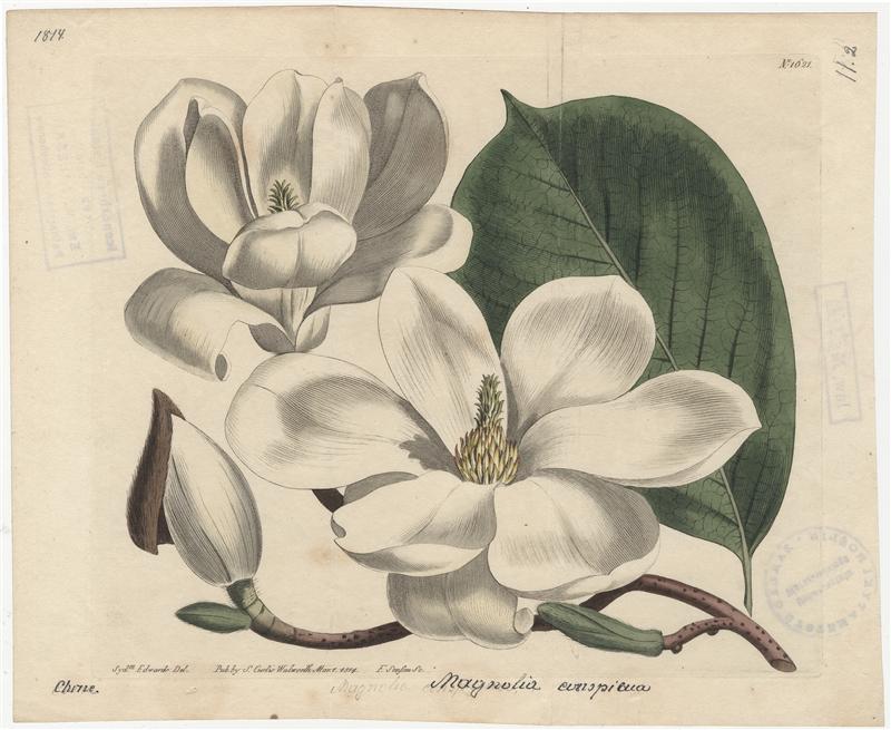 "Magnolia denudata Desr. [w:] ""Curtis's botanical magazine"" 1814, vol. 39, tab. 1621"