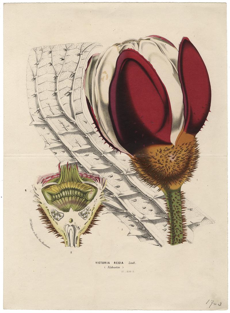 "Victoria amazonica (Poepp.) J.C. Sowerby pol. wiktoria królewska [w:] ""Flore des serres et des jardins de l'Europe"" 1847, vol. 3, il. 202-203"