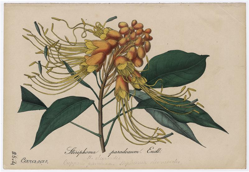 """Steriphoma paradoxum (Jacq.) Endl. [w:] """"Deutsches Magazin für Garten-und Blumenkunde"""" 1850, il. do s. 301-303"""