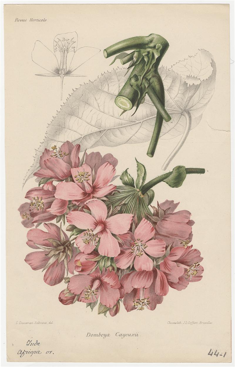 "Dombeya Cayeuxii [w:] ""Revue Horticole. Journal d'horticulture pratique"" [s.a.]"
